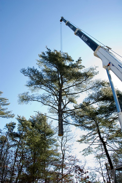Crane assisted removal of a tree